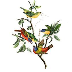 Painted Finch, Audubon Centennial Edition