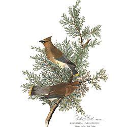 Cedar Bird, Audubon Centennial Edition